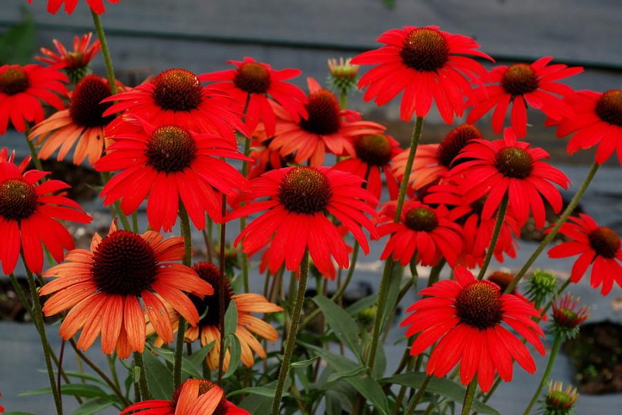 Echinacea Dixie Scarlet